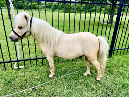 Ordinary Miracle aka Timmy, Miniature Gelding for sale in Texas