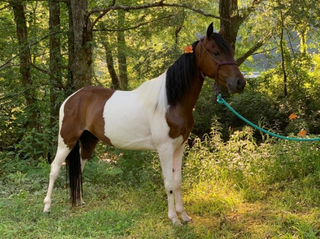 Tork , Rocky Mountain Gelding for sale in Kentucky