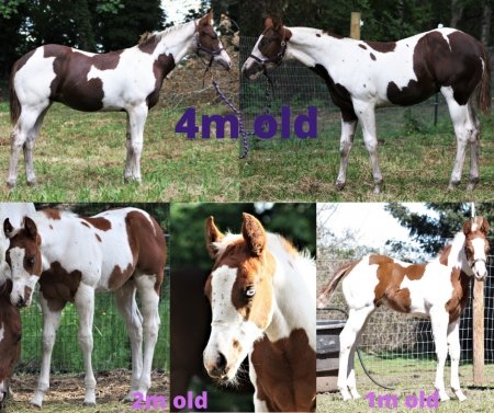 Frankly Two Tuff, American Paint Horse Association Colt for sale in Oregon