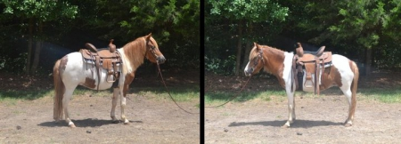 Honey, Ponies Mare for sale in North Carolina