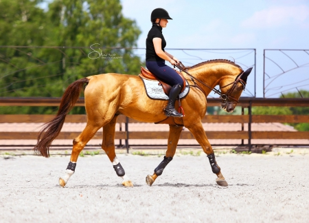 Edison, Budyonny Stallion for sale in New York