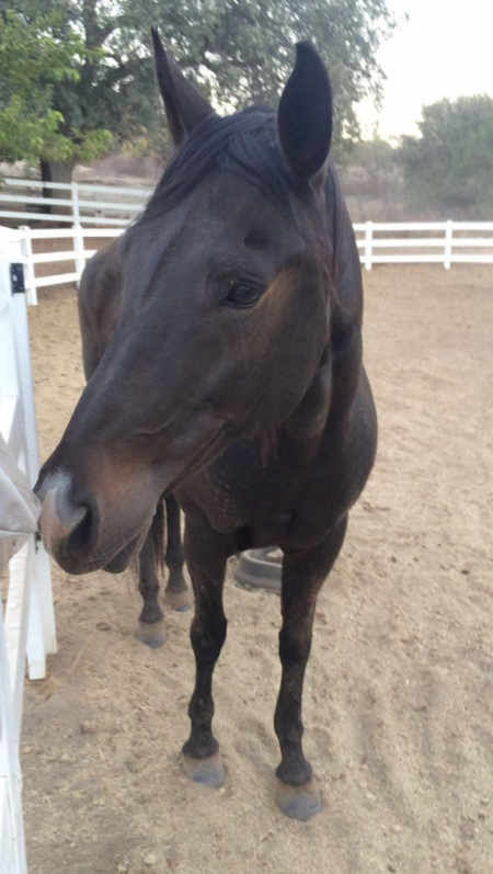 Contessa, American Quarter Horse Mare for sale in California
