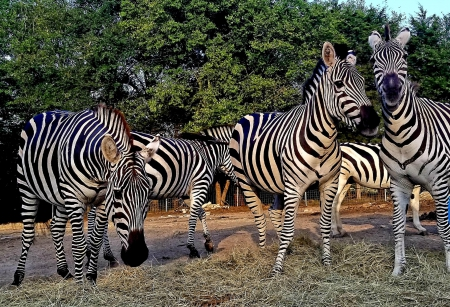 Zebra, Zebra Gelding for sale in California
