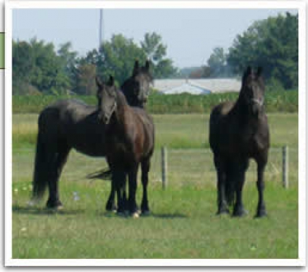 Riz, Friesian Mare for sale in Hawaii