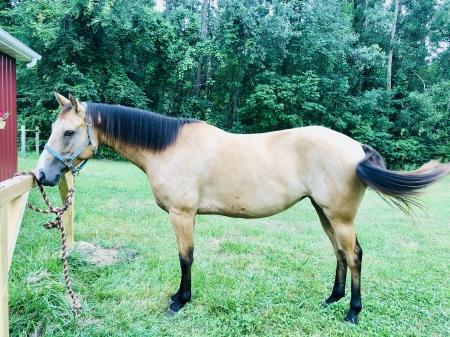 Nelly, American Quarter Horse Mare for sale in Michigan