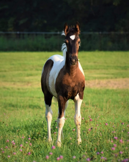 Foxy , Gypsy Vanner Filly for sale in Missouri
