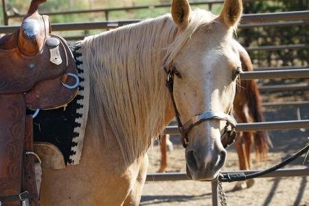 Sunrise With Little Joe , Missouri Fox Trotting Horse Gelding for sale in Colorado