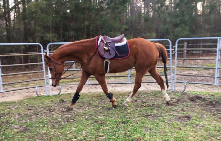 Coby, Appendix Quarter Horse Gelding for sale in Virginia
