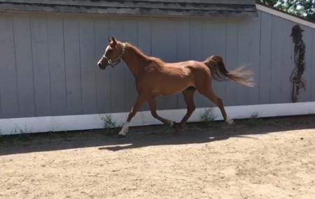 Sal, Arabian Gelding for sale in Massachusetts