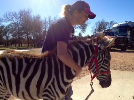 Zebras, Zebra Colt for sale in Washington