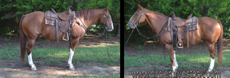 Sox, American Quarter Horse Gelding for sale in North Carolina