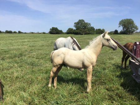 Palomino Stud Colt, American Quarter Horse Colt for sale in Kansas