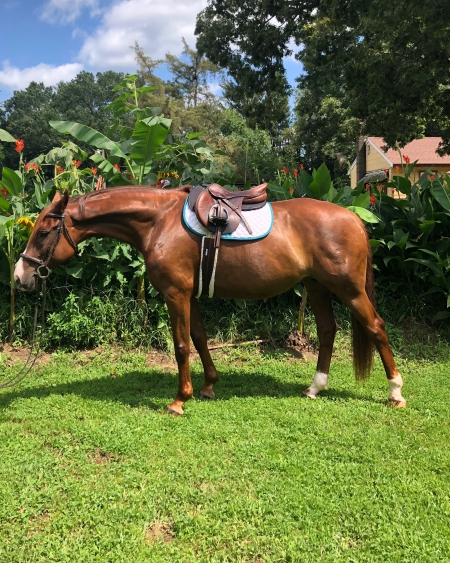 Connie, Warmbloods (All) Mare for sale in New Jersey