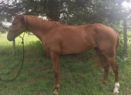 Rock Me Sneaky, Other Gelding for sale in South Carolina