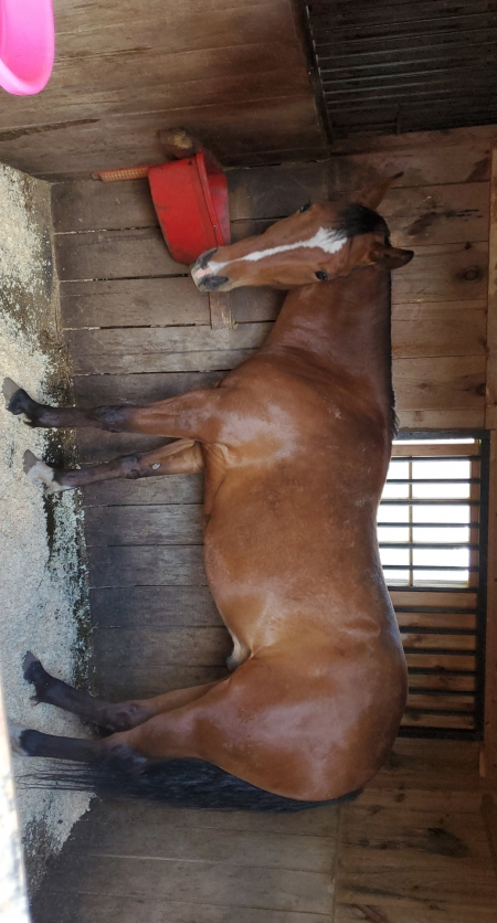 Hollywoods got zip, American Paint Horse Association Gelding for sale in Pennsylvania