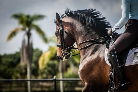 Brawny Gelding Bay Schoolmaster Dressage Warmblood, Dutch Warmblood Gelding for sale in Illinois