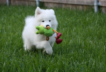 Cute Samoyed Puppies for sale, Other Jennet for sale in Nebraska