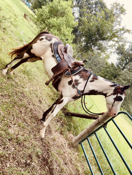 Moons snazzy que, Other Gelding for sale in Texas