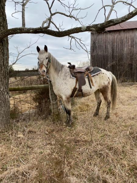 Chloe , Appaloosa Mare for sale in Kentucky