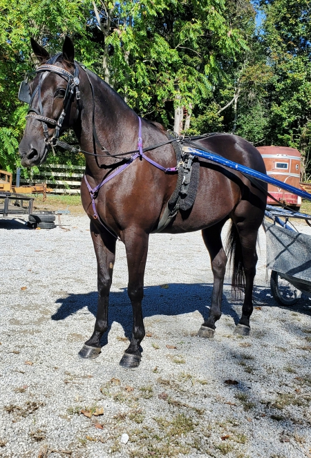 Cocoa Banjo, Standardbred Gelding for sale in Kentucky