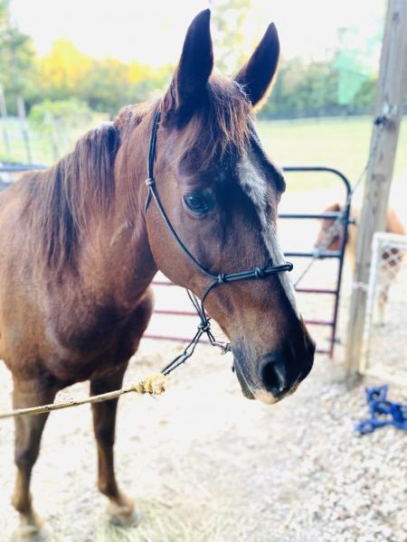 Traveler, American Quarter Horse Gelding for sale in North Carolina