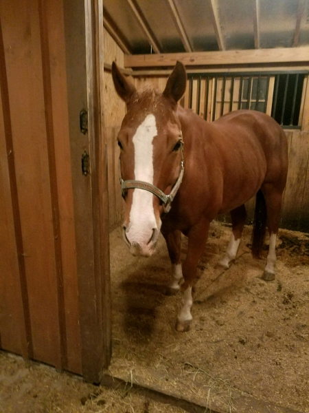 Jericho, American Quarter Horse Gelding for sale in Virginia