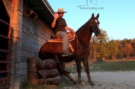 Billy's Southern Pride L.J., Missouri Fox Trotting Horse Gelding for sale in Missouri