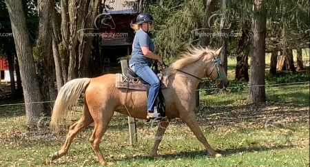 Playgirl's Summer Lady G., Missouri Fox Trotting Horse Mare for sale in Missouri