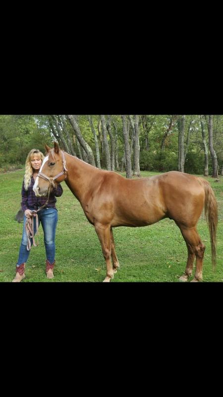 Trooper, Quarter Horse Cross Gelding for sale in Pennsylvania