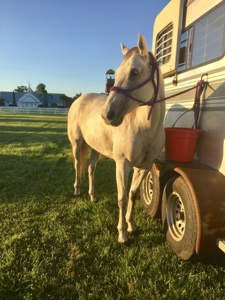 Rumor, American Quarter Horse Mare for sale in Florida