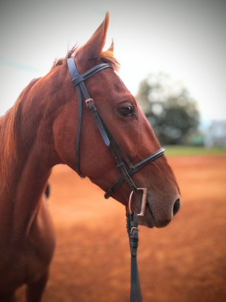 Winston, Thoroughbred Gelding for sale in North Carolina