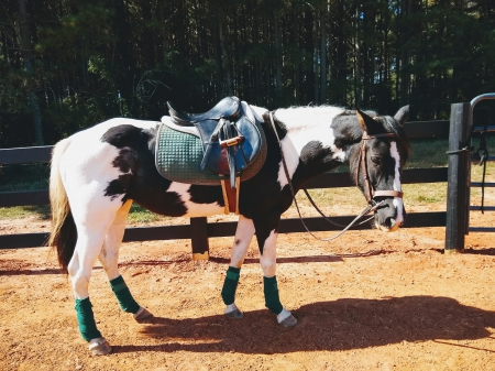 Mirage, Welsh Pony Mare for sale in North Carolina