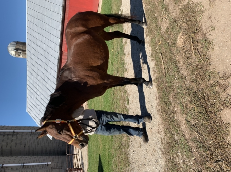Jamaica , Quarter Horse Cross Mare for sale in Wisconsin