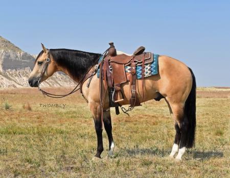 4 USU MOBSTERS TOP GUN, American Quarter Horse Gelding for sale in Nebraska