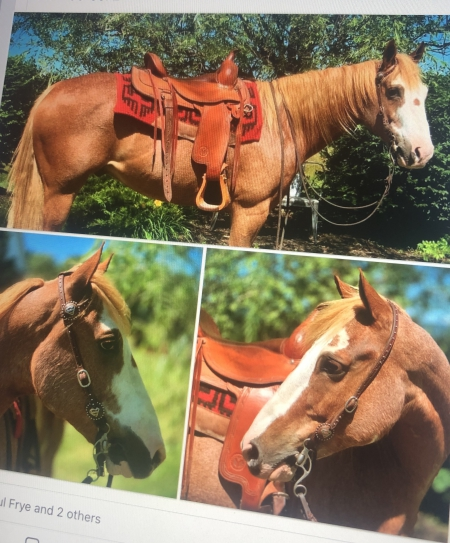 Cody, American Quarter Horse Gelding for sale in Pennsylvania