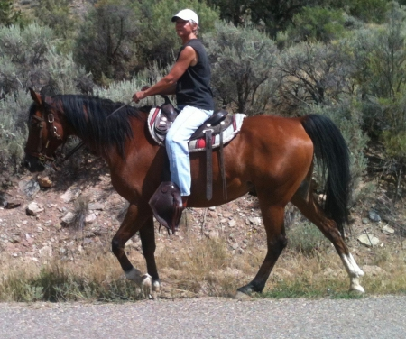 Quint, Arabian Gelding for sale in Colorado