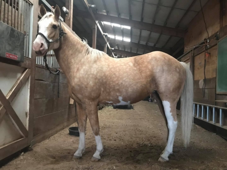 Little Miss Elle Mae , American Paint Horse Association Mare for sale in Minnesota