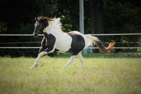 Oreo, Ponies (All) Gelding for sale in Illinois