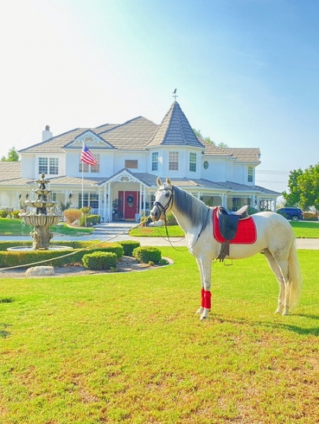 Maximus - White Andalusian Gelding, Andalusian Gelding for sale in California