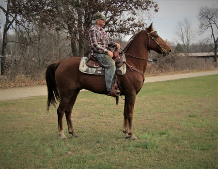 Rye, Tennessee Walking Horses Gelding for sale in Michigan