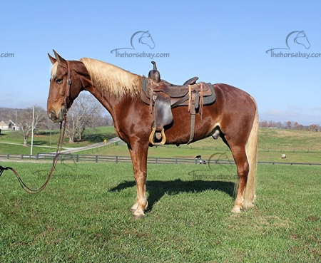 Stroker , Kentucky Mountain Saddle Horse Gelding for sale in Kentucky