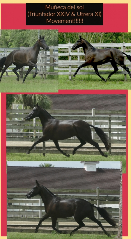 Muñeca del sol, Andalusian Mare for sale in Florida