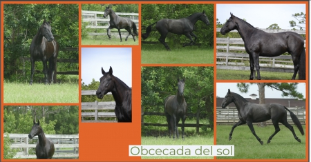 Obcecada del sol, Andalusian Mare for sale in Florida