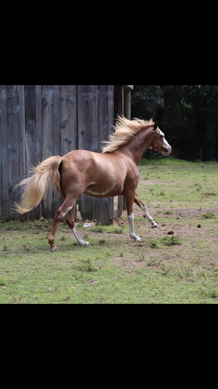 Duchess, American Paint Horse Association Mare for sale in North Carolina