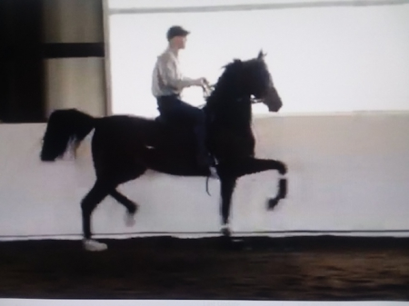 KW Jump for Joy, Half-Arabian Mare for sale in Tennessee