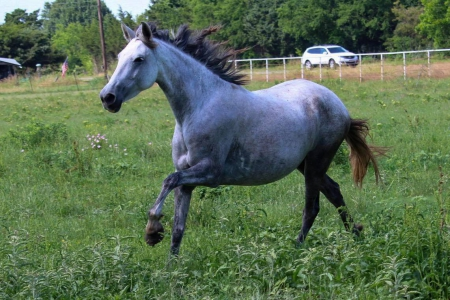 Denaria Wor, Andalusian Mare for sale in Texas