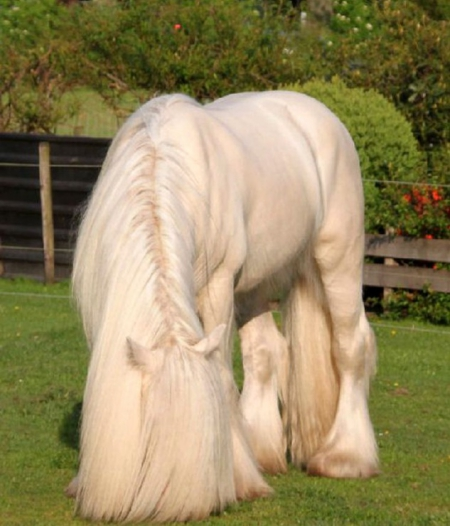 Loverta, Gypsy Vanner Mare for sale in California