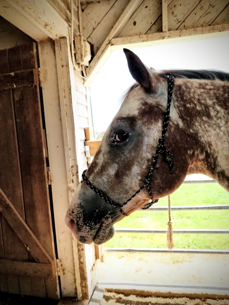 Shados Brave Spirit (Koda), Appaloosa Gelding for sale in Missouri