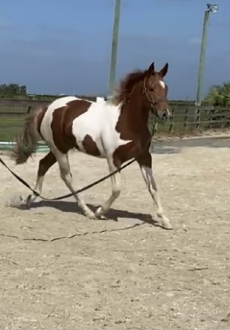 Kisses my Jackzip, American Paint Horse Association Filly for sale in Florida