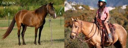 Acorn and Clover, Ponies Mare for sale in California